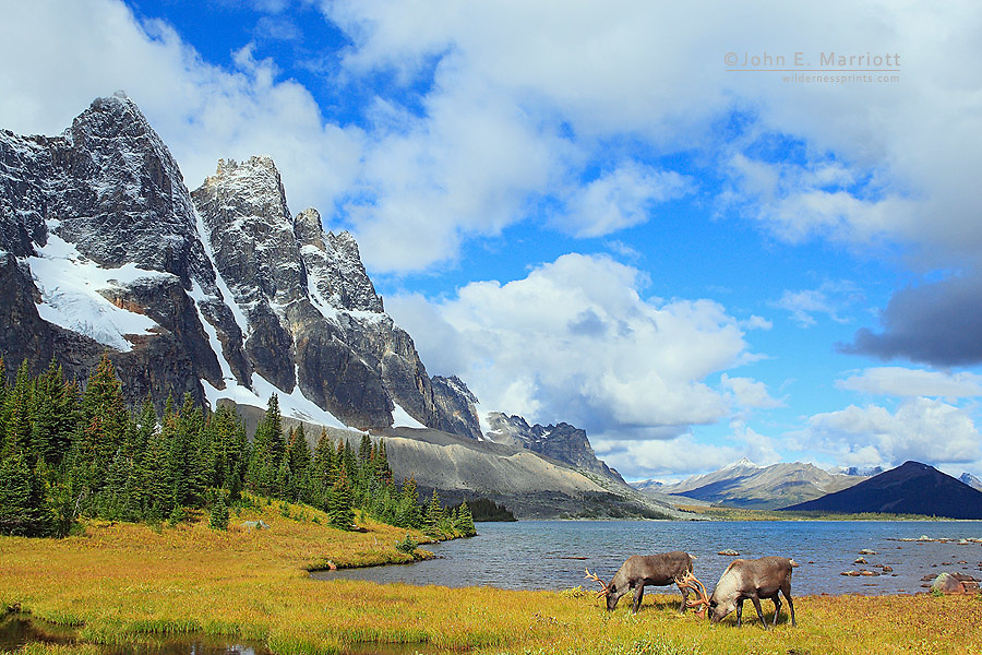 Woodland caribou bulls feeding on the shores of Amethyst Lakes below The Ramparts in Jasper National Park's Tonquin Valley.  Woodland mountain caribou are a species at risk in the Canadian National Parks and in Alberta, Canada.