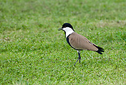An adult spur-winged plover (Vanellus spinosus) standing in an open field at the edge of the River Nile. Luxor. Egypt