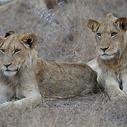 African Lion, two young lions, Londolozi Game Reserve, South Africa.
