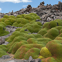 """Yareta plant seen on the Patapampa Pass. According to """"Wikipedia"""" - The yareta is estimated to grow approximately 1.5 centimetres (15 mm) per year. Many yaretas are estimated to be over 3,000 years old."""