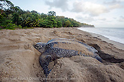 A female Leatherback Sea Turtle, Dermochelys coriacea, nests at sunrise on Grand Riviere, Trinidad, and returns to the Caribbean Sea. During peak nesting season in late May / early June, this beach will receive roughly 300 nesting Leatherback every night, making it one of the busiest and most important nesting locations in the world for the critically endangered species. Image available as a premium quality aluminum print ready to hang.