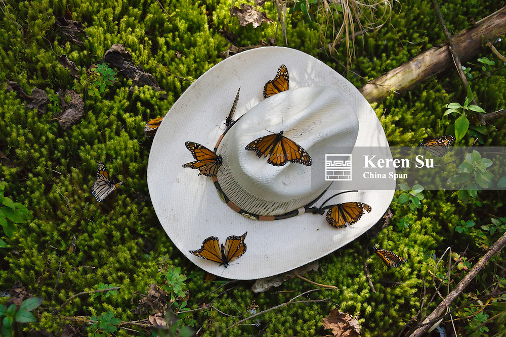 Monarch Butterflies on a Mexican hat, Michoacan, Mexico