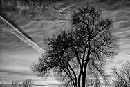 Bare tree, clouds, and contrail. B&W. Loveland CO