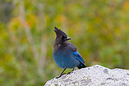 A Steller's Jay (Perisoreus canadensis) at Inspiration Point in Mount Rainier National Park, Washington State, USA