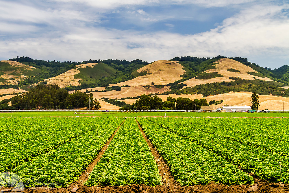 Lettuce field in the Pajaro Valley near Watsonville, California,