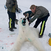 Dr Steven Amstrup, Susie Miller  and chopper pilot Bob Dunbar collect data from a recently immobilized polar bear on the Beaufort Sea, Alaska. The bear is beginning to wake.