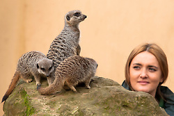 © Licensed to London News Pictures. 04/01/2012. LONDON, UK. Caroline Westlake, a zookeeper at London Zoo, inspects some of the zoo's meerkats as part of the annual stock take today (04/01/12). There are more than 18,000 animals taking up residence at the Regent's Park site, and zookeepers have to make sure each and everyone is accounted for during the check. Photo credit: Matt Cetti-Roberts/LNP