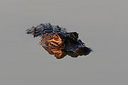 American alligator at the Bailey Track of Ding Darling National Wildlife Refuge on Sanibel Island, Florida