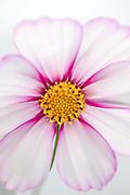 Cosmos bipinnatus 'Picotee' - garden cosmos