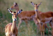 Image of African impalas at the Masai Mara National Reserve in Kenya, Africa by Randy Wells