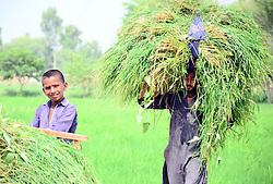 September 30, 2018 - Pakistan - LARKANA, PAKISTAN, SEP 30: Youth carry huge load of fodder over his head at field in .Larkana on Sunday, September 30, 2018. (Credit Image: © PPI via ZUMA Wire)
