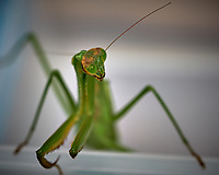 Praying Mantis. Image taken with a Fuji X-T2 camera and 80 mm f/2.8 macro lens (ISO 200, 80 mm, f/5.6, 1/480 sec).