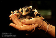 Orphaned by hunter's gun, baby opossums huddle in hand of woman raising them on forest preserve. Ecuador