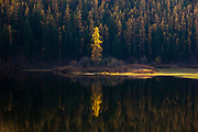 A single larch lights up on the shore of Salmon Lake, Montana.