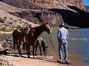 Horses being watered in the Colorado River above Whitmore Wash, Grand Canyon National Park, Arizona.