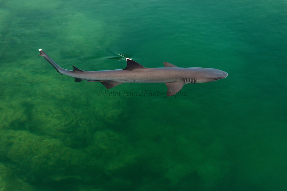 White-tipped Reef Shark (Triaenodon obesus)<br /> Elizabeth Bay, Isabela Island<br /> Galapagos <br /> Ecuador, South America<br /> RANGE: Common in the entire archipelago. North to Costa Rico including offshore islands, also tropical and subtropical Indo-Pacific.