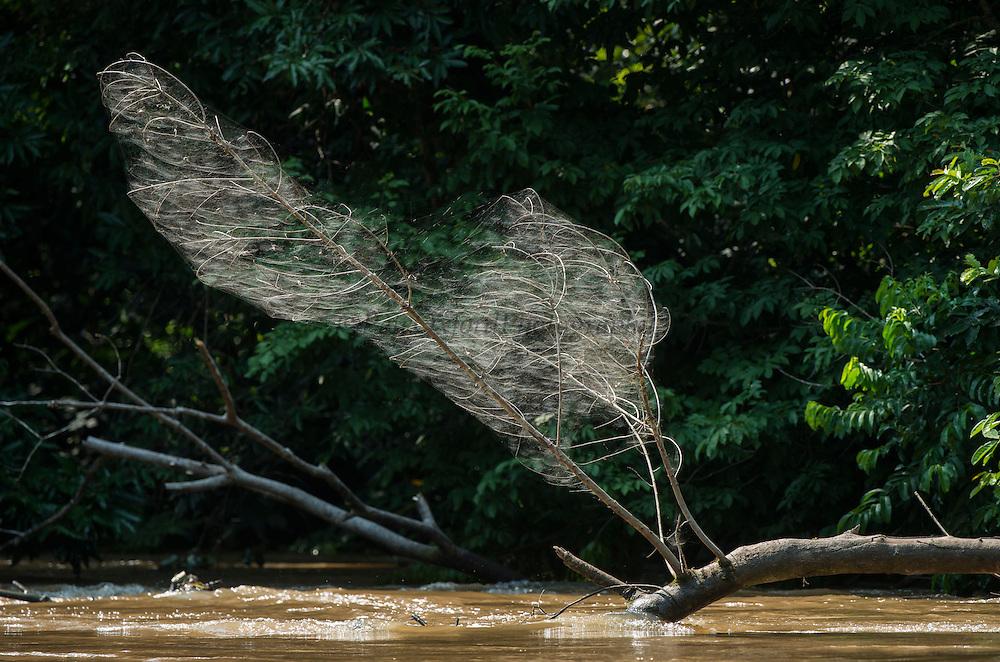 Communal spider web<br /> Lekoli River<br /> Odzala - Kokoua National Park<br /> Republic of Congo (Congo - Brazzaville)<br /> AFRICA