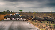 Herd of African buffalos crossing the road in Kruger NP, South Africa.