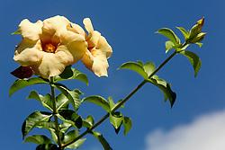 Allamanda violacea cream#1