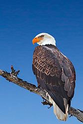 Perched, Bald Eagle, portrait, Swan Valley Idaho