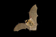 A western small-footed bat (Myotis ciliolabrum) in flight at night in The Nature Conservnacy's Moses Coulee Field Station in Central Washington.