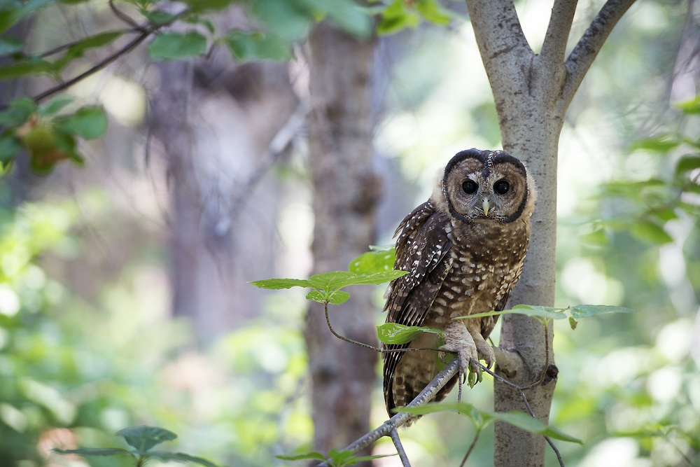 A juvenile spotted owl in a forest in Kings Canyon National Park
