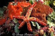 red-spotted sea star or starfish, Linckia multifora,<br /> Palau, Micronesia,<br /> ( Western Pacific Ocean )