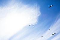 Gulls flying on Oregon coast.