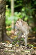 Macaque in the undergrowth, Meru Betiri National Park, East Java, Indonesia, Southeast Asia