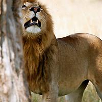 Africa, Kenya, Maasai Mara. Male lion at base of tree in the Mara.