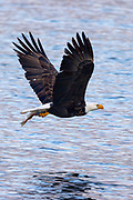 A bald eagle (Haliaeetus leucocephalus) flies over the waters of Puget Sound near Edmonds, Washington, with a fish that it caught.