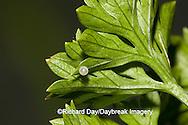 03009-015.02 Black Swallowtail (Papilio polyxenes) egg on Parsley, (Petroselinum crispum) Marion Co. IL