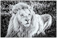 06-11-2017 Foto's genomen tijdens een persreis naar Buffalo City, een gemeente binnen de Zuid-Afrikaanse provincie Oost-Kaap. Inkwenkwezie Private Game Reserve - Witte leeuw