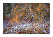 Glowing morning light on willow and wetland brightens the intense colour of the willow's branches