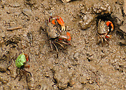Crabs forage on a tidal mud flat in Ku-ring-gai Chase National Park, 25 km north of Sydney, in New South Wales, Australia.