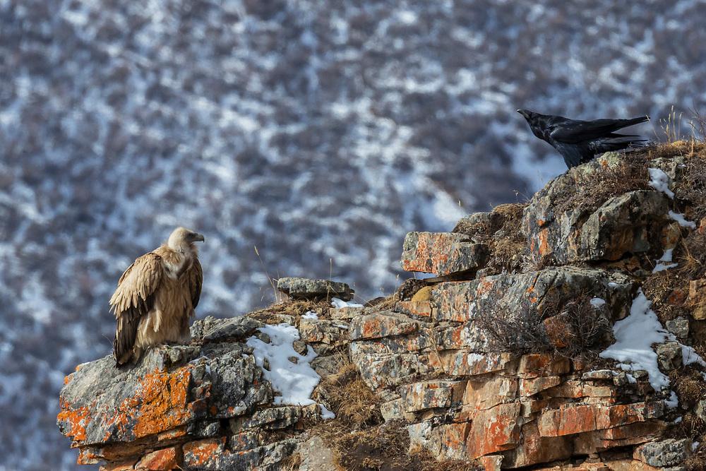 Himalayan griffon vulture, Gyps himalayensis, sitting in mountain landscape with a raven, Corvus corax, China, Sichuan Province, Garze Prefecture, Serxu County.