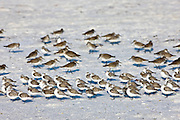 Sanderlings in foreground with sandpipers and plovers on the beach at Anna Maria Island, Florida, USA