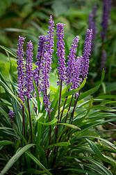 Liriope muscari AGM. Big Blue Lilyturf