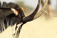 Namibia sable hunt