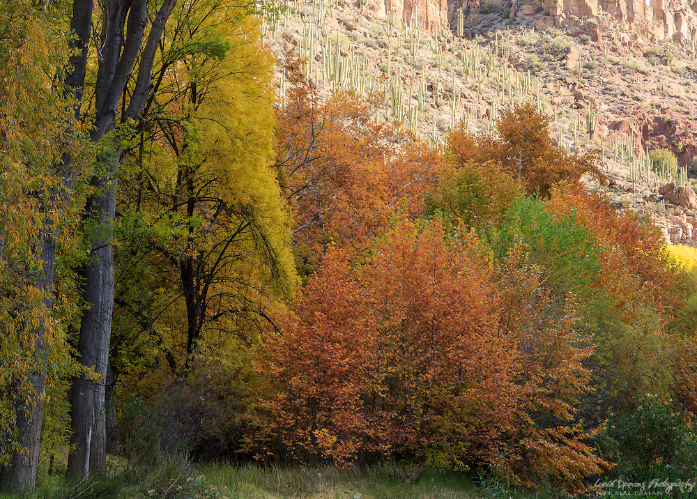 A saguaro-studded cliff in warm morning light as fall color fills Aravaipa Canyon.