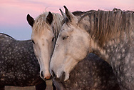 Percherons nussle on the plains of western North Dakota at Ronnie Oyloe's ranch in Round Prairie Township west of Williston, N.D., Oct 25, 2013.  With the help of two couples — Jen and Jake Henderson, who rent a house on Oyloe's property, and neighbors Kendel and Leroy Hofer, the five of them worked in unison to move the horses from their original location just south of Ray, ND.  Photo Ken Cedeno