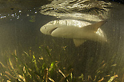 Lemon Shark (Negaprion brevirostris)<br /> MAR Alliance<br /> Lighthouse Reef Atoll<br /> Belize<br /> Central America