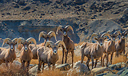 Bighorn Sheep in the Wassuk Range,<br /> BLM Lands, Mineral County, Nevada