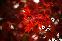 A Japanese Maple puts on its autumn colors.
