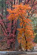 Bigtooth Maple, Cave Creek Canyon, Chiricahua Wilderness, Coronado National Forest, Cochise County, Arizona