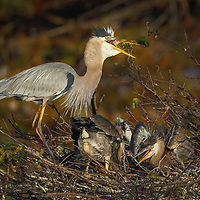 South Florida nature photography from outdoor photographer Juergen Roth showing a Great Blue Heron serving dinner to its chicks at Wakodahatchee Wetlands located west of Delray Beach in Palm Beach County, FL.  <br /> <br /> Great Blue Heron bird photography images from the Wakodahatchee Wetlands area are available as museum quality photo prints, canvas prints, wood prints, acrylic prints or metal prints. Fine art prints may be framed and matted to the individual liking and decorating needs:<br /> <br /> https://juergen-roth.pixels.com/featured/great-blue-heron-serving-breakfast-juergen-roth.html<br /> <br /> All digital nature photo images are available for photography image licensing at www.RothGalleries.com. Please contact me direct with any questions or request.<br /> <br /> Good light and happy photo making!<br /> <br /> My best,<br /> <br /> Juergen<br /> Prints: http://www.rothgalleries.com<br /> Photo Blog: http://whereintheworldisjuergen.blogspot.com<br /> Instagram: https://www.instagram.com/rothgalleries<br /> Twitter: https://twitter.com/naturefineart<br /> Facebook: https://www.facebook.com/naturefineart