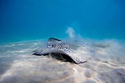 Honeycomb stingray (Himantura uarnak) on the seabed. Photographed in the Mediterranean Sea, Hadera, Israel