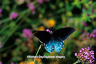 03004-00402 Pipevine Swallowtail (Battus philenor) on Brazilian Verbena (Verbena bonariensis), Marion Co.  IL