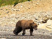 An Alaska coastal brown bear runs across the rocks on the shore of Chinitna Bay, Lake Clark National Park, Alaska.