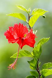 Hibiscus flower, Manuel Antonio National Park, Costa Rica